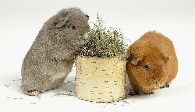 Разведение морских свинок - знакомство пары
