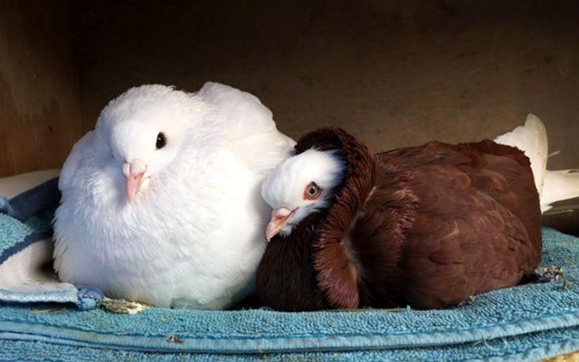 Мясные голуби - молодняк