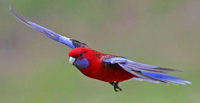Розелла попугай