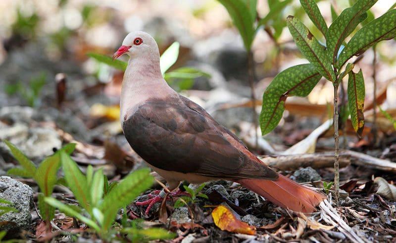 Розовый голубь - главное фото