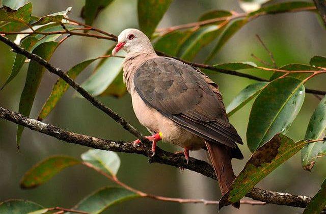Розовый голубь - оперение