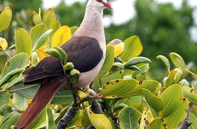 Розовый голубь - тропическая птица