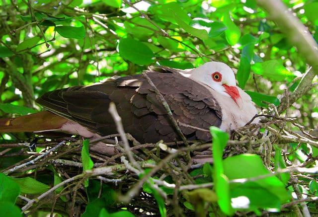Розовый голубь в гнезде