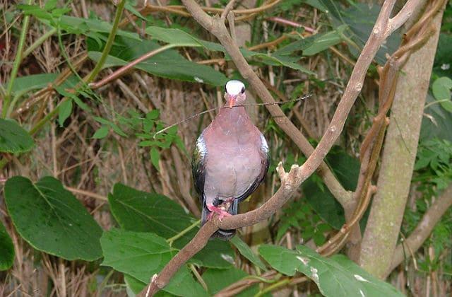 Розовый голубь с веточкой в клюве