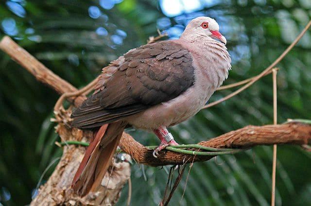 Розовый голубь - внешний вид