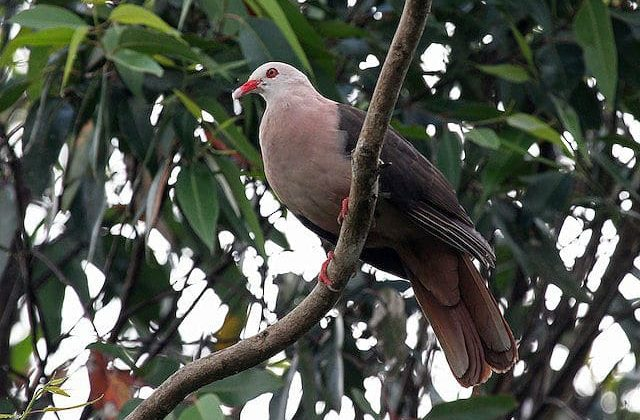 Розовый голубь - вид снизу