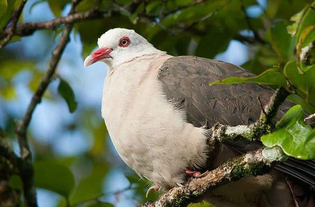 Розовый голубь - грудка