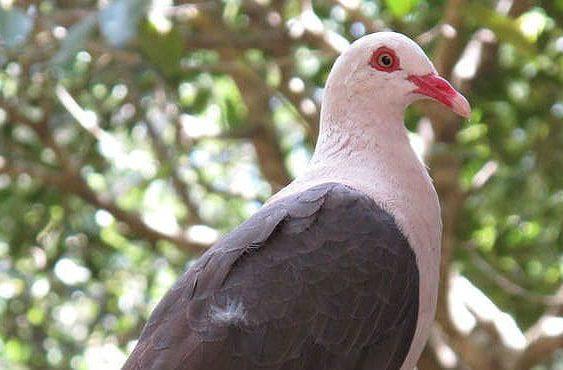 Розовый голубь - голова