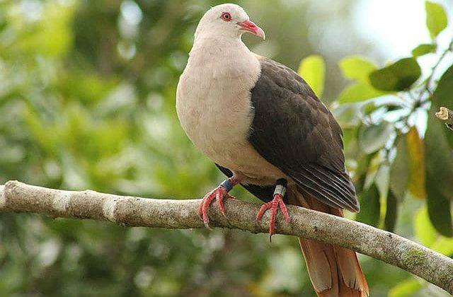 Розовый голубь сидит на ветке