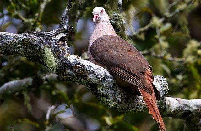 Розовый голубь - хвост