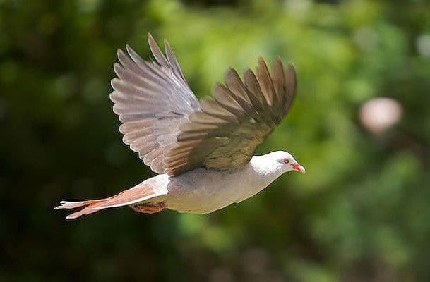 Розовый голубь в полете