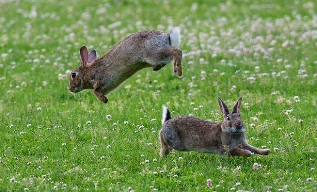 Самцы кролики