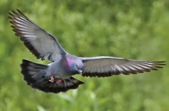 Сизые голуби - главное фото