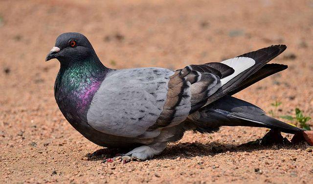 Сизый голубь сидит на земле