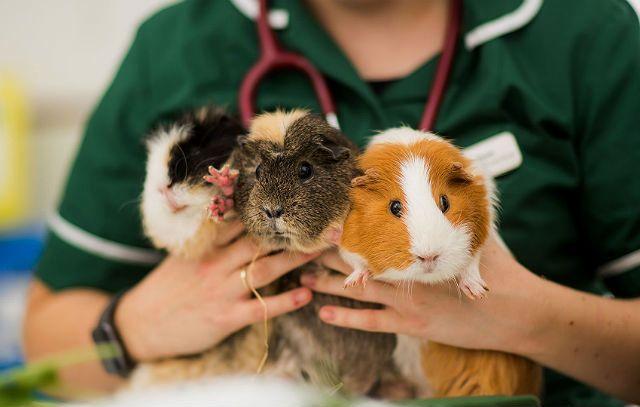 Слезотечение у морской свинки - лечение у ветеринара