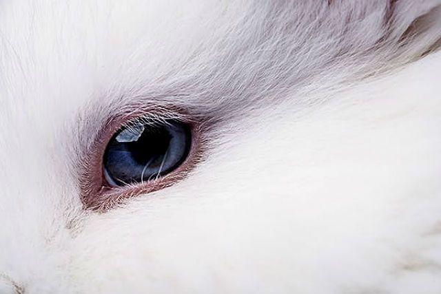 Слезотечение у морской свинки - глаукома