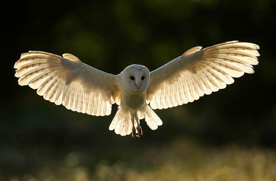 Сова сипуха расправила крылья