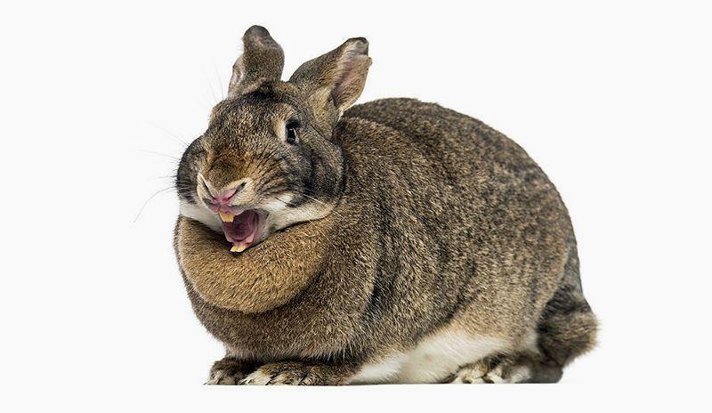 Строение челюсти кролика - главное фото