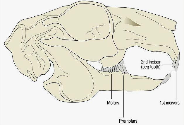 Строение челюсти кролика - схема