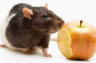 Строение зубов крыс - главное фото