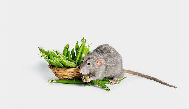 Уход за крысами дамбо - кормление