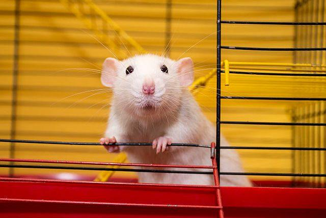 Уход за крысами дамбо - клетка