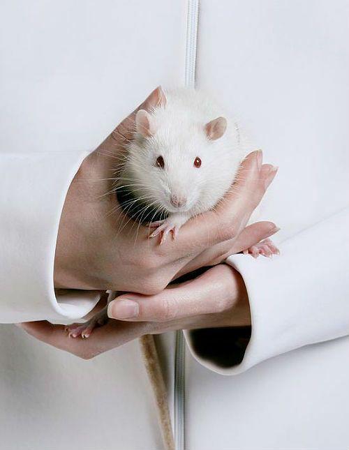 Приручение крысы дамбо