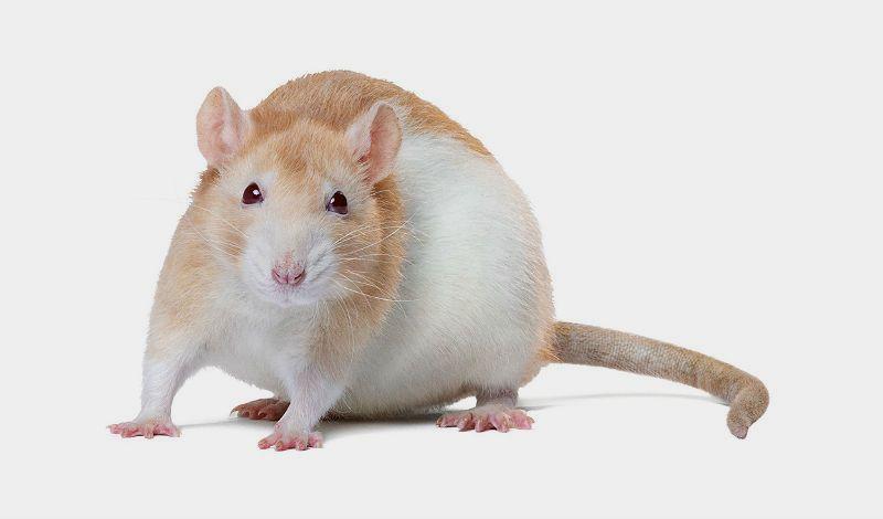 Уход за крысами дамбо - главное фото