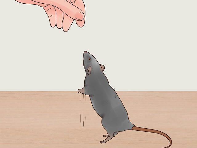 Уход за крысами дамбо - приручение