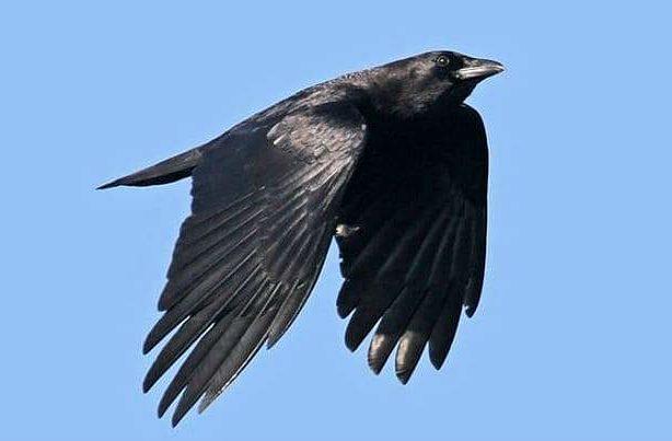 Ворон летит