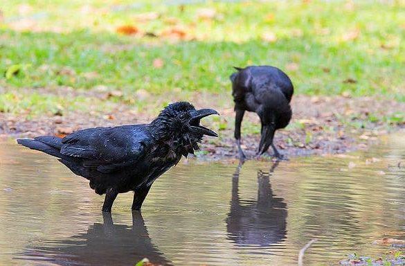 Вороны пьют воду