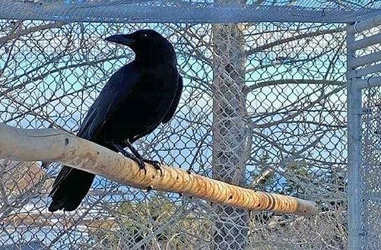 Ворон домашний сидит на жердочке