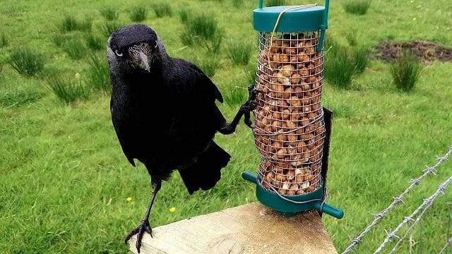 Ворон домашний - кормление
