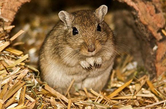 Мышка-песчанка