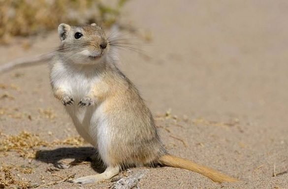 Мышь песчанка в естественной среде