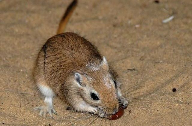 Мышь-песчанка ест