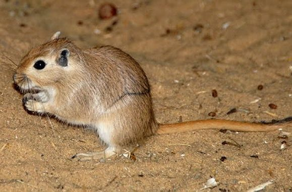 Мышка - песчанка