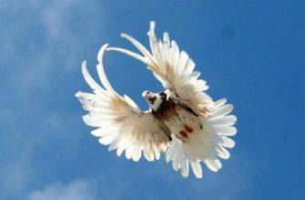 Высоколетные голуби - главное фото