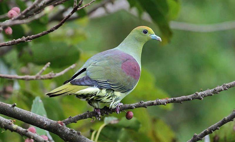 Японский зеленый голубь - главное фото