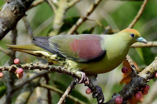 Японский зеленый голубь - среда обитания