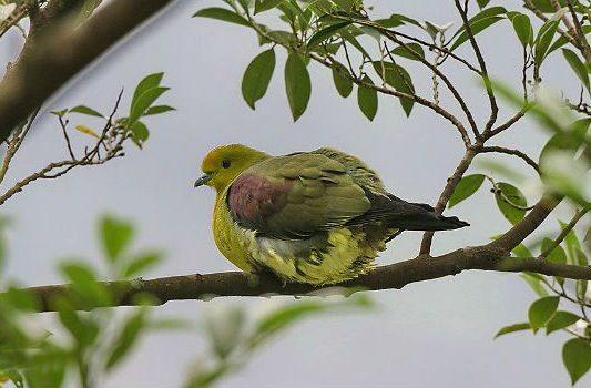 Японский зеленый голубь сидит