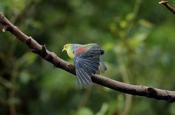 Японский зеленый голубь - крылья