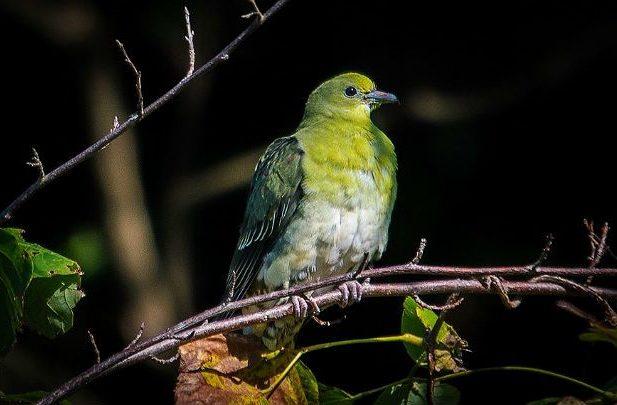 Японский зеленый голубь в темноте