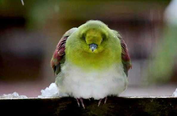 Японский зеленый голубь нахохлился