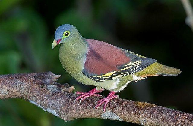 Японский зеленый голубь на ветке