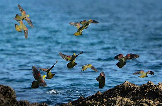 Японский зеленый голубь - образ жизни