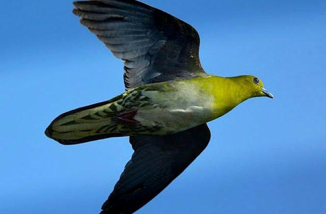 Японский зеленый голубь летит