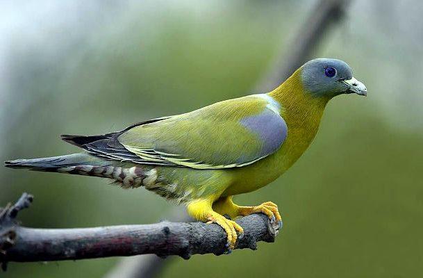 Японский зеленый голубь - вид сбоку