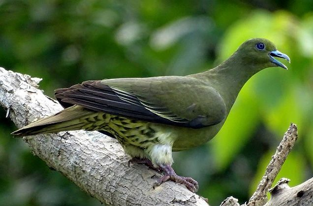 Японский зеленый голубь - оперение