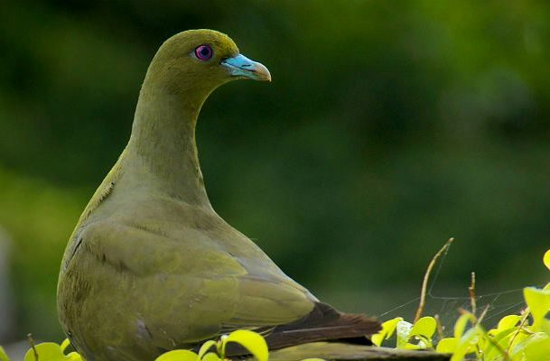 Японский зеленый голубь - голова